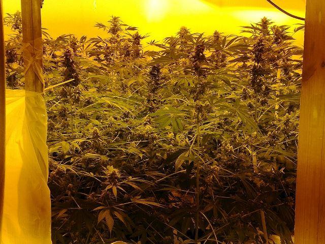 "Siracusa, una ""serra"" di marijuana nella propria casa: arrestato"