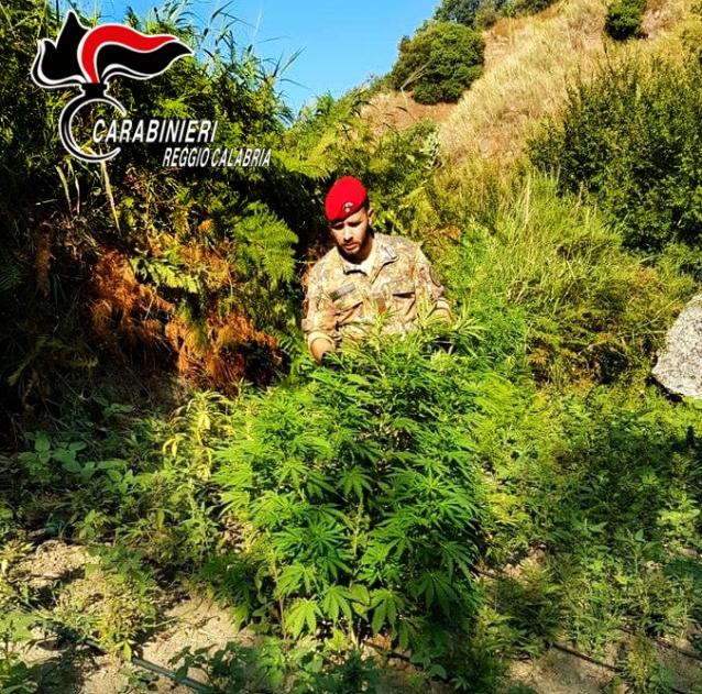Trovata piantagione di canapa indiana nana nel Reggino