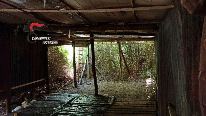 Nel Vibonese sequestrate 2.000 piante di cannabis