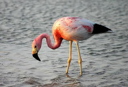 Salina, nel laghetto di Lingua in sosta 5 fenicotteri rosa