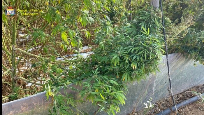La Finanza sequestra a Gela piantagione di cannabis per 3,5 milioni di euro