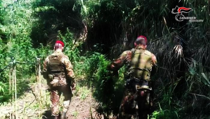 Sequestrate 44 piante di canapa indica nel Reggino