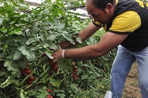 La crisi del pomodoro, Bcc disponibile a sostenere i produttori di Pachino e Portopalo