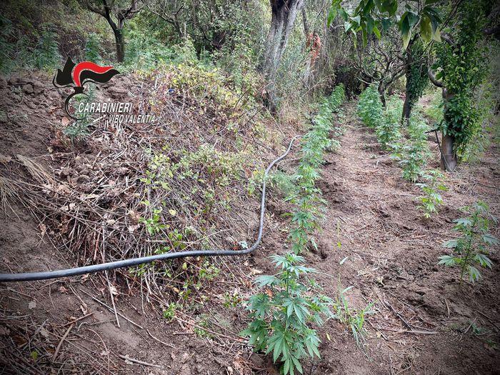 Scoperta piantagione di canapa indiana nel Vibonese: 2 arresti