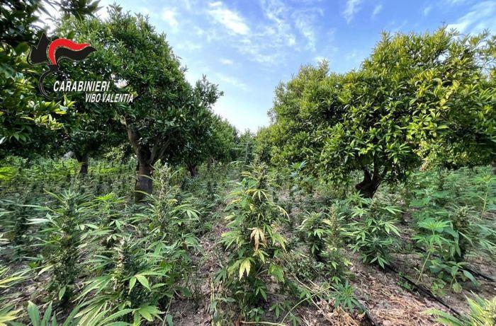 Coltivava droga, arrestato imprenditore agricolo nel Vibonese