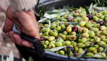Lavoro nero nel Trapanese, tre euro l'ora per raccogliere olive