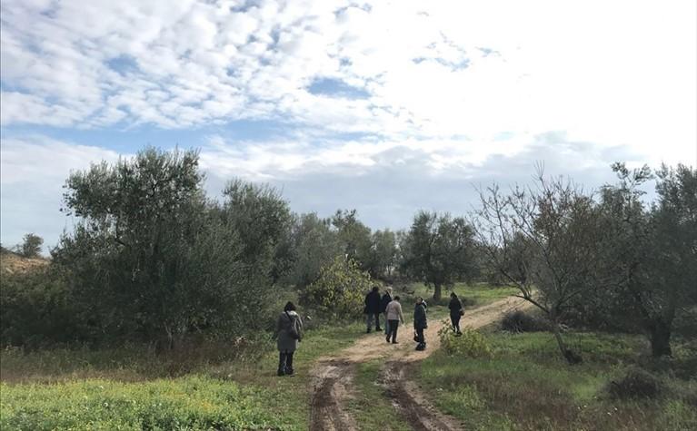 Gli uliveti della Caritas nei campi confiscati alla mafia nel Catanese