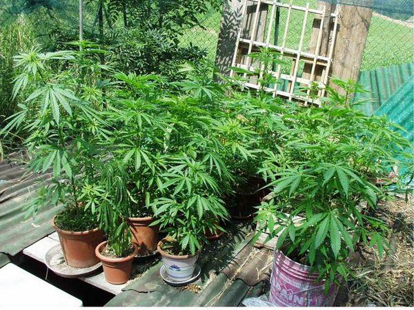 """Palermo, una vera e propria """"serra"""" di marijuana: un arresto"""