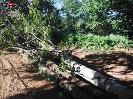 Abbattuti 78 alberi nel Crotonese, denunciata una famiglia