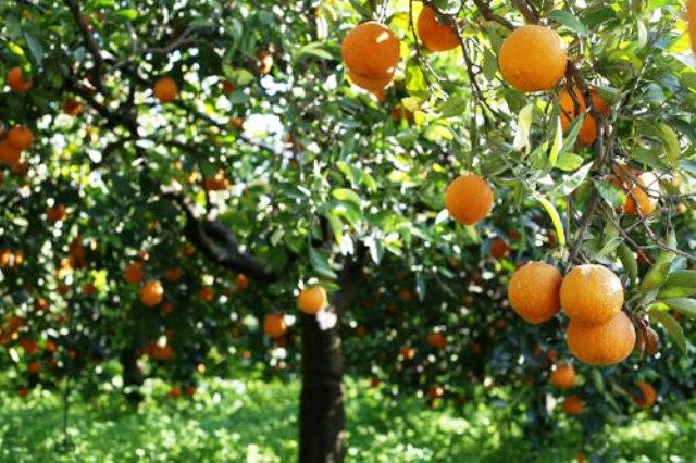 Palagonia, ruba una tonnellata di arance: i Carabinieri lo arrestano