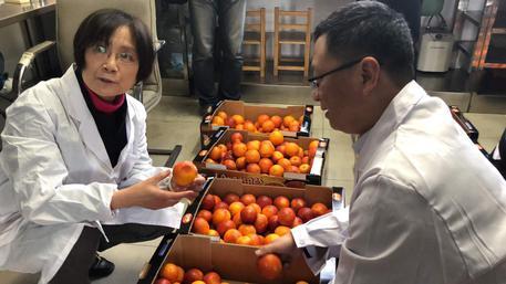 Venduto primo carico di arance siciliane in Cina