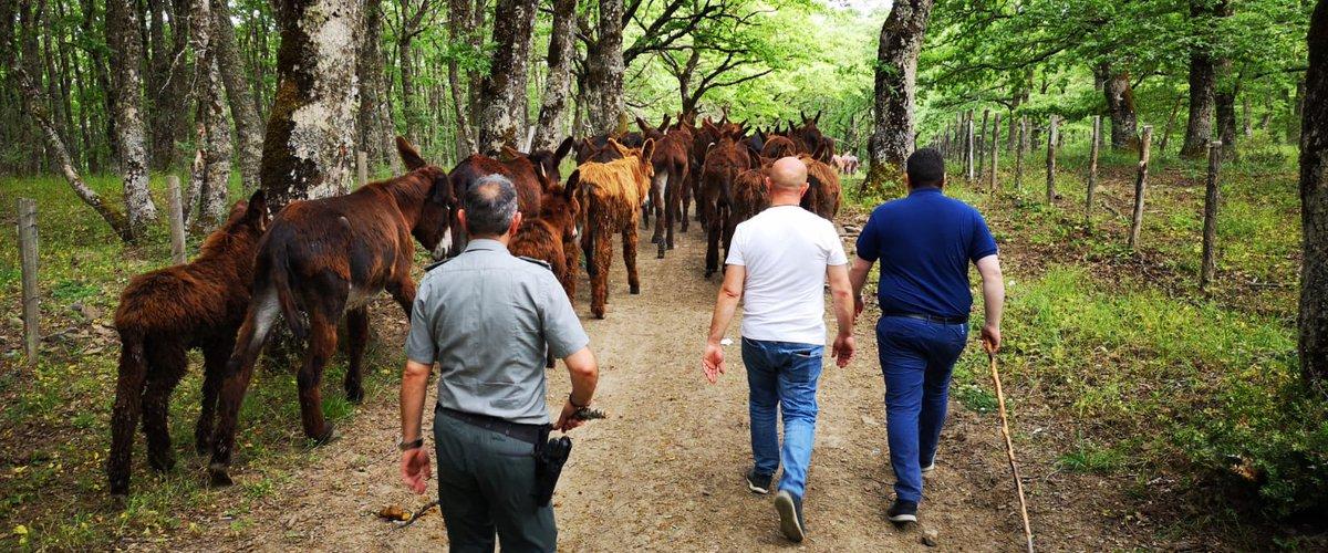 Cento asini di Chiaramonte ripopoleranno i boschi di Troina tolti alla mafia