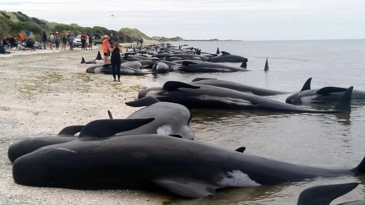 Nuova Zelanda, una catena umana per le balene spiaggiate: 100 salve