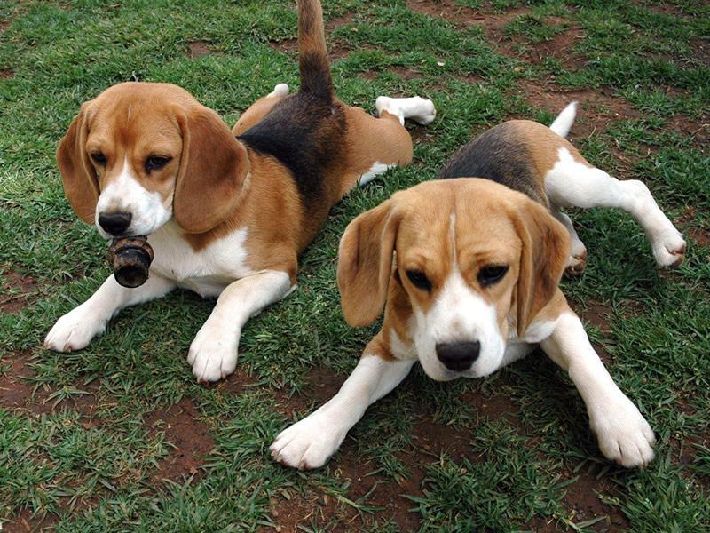 Modica, rubati sette cani di razza: uno ucciso a bastonate