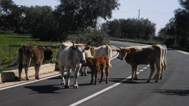 Bovini vaganti alla periferia di Noto, 13 mila euro di multa al proprietario