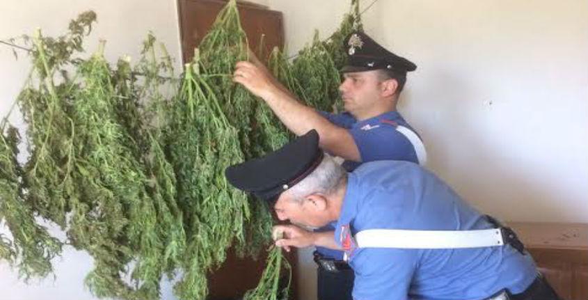Sequestrati due quintali di marijuana in un casolare del Nisseno