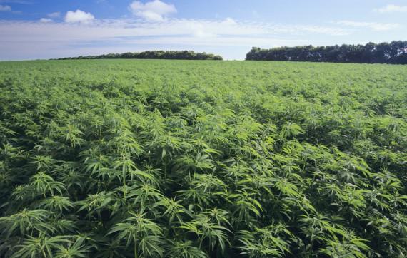 Agricoltura, boom della coltivazione della canapa anche in Sicilia