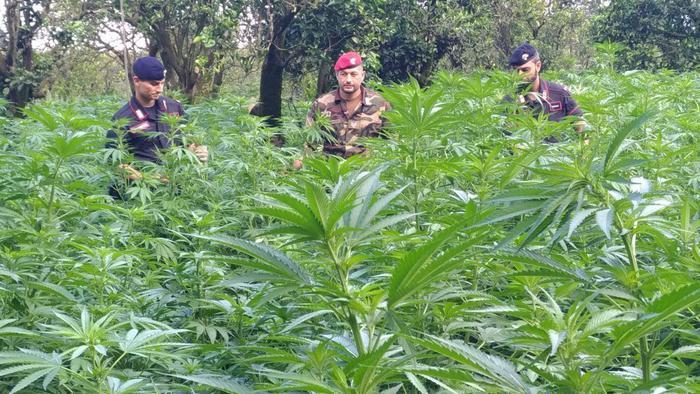 Scoperta piantagione di canapa indiana a Cittanova: quattro arresti