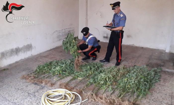 Sorvegliato speciale coltivava canapa indiana, arrestato nel Cosentino