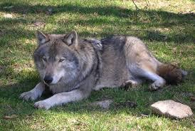 Roma, sequestrati oltre 200 ibridi tra cane e lupo