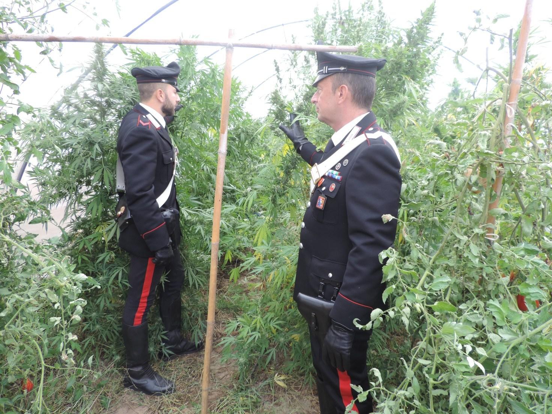 Marsala, piante di marijuana tra gli ortaggi: una persona arrestata