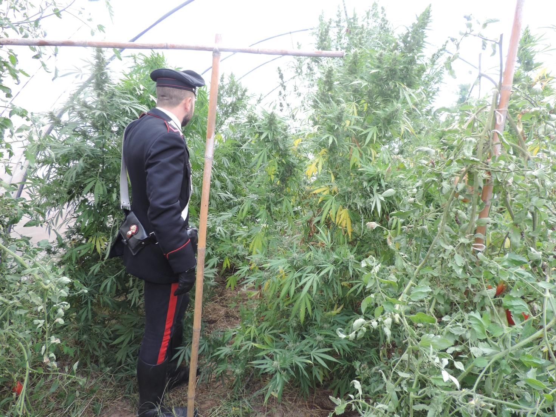 Droga, marijuana coltivata tra i pomodori: arrestato a Castelvetrano
