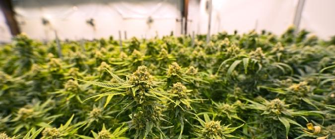 La Finanza sequestra a Belpasso piantagione di cannabis: un arresto