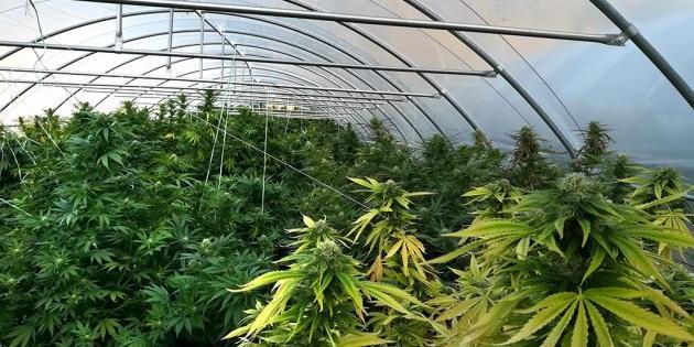 Scoperte quattro piantagioni di cannabis, due arresti nel Palermitano