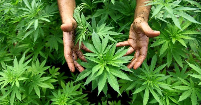 Pagano (Lega): su cannabis maggioranza 'sballata', va contro la Consulta