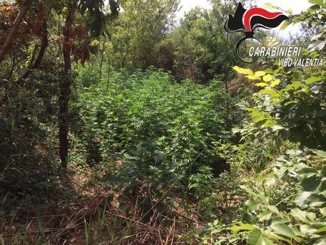 Scoperta una piantagione di cannabis nel Vibonese, arrestati fratelli