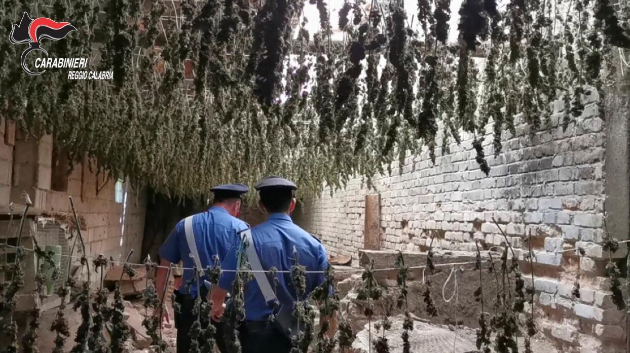 Droga, settemila piante di marijuana sequestrate nella Piana di Gioia Tauro