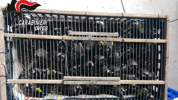 Liberati 140 cardellini messi in vendita a Ballarò a Palermo