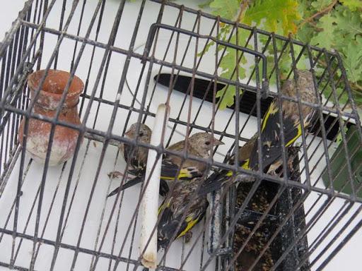 Catturava cardellini, bracconiere denunciato nell'Ennese