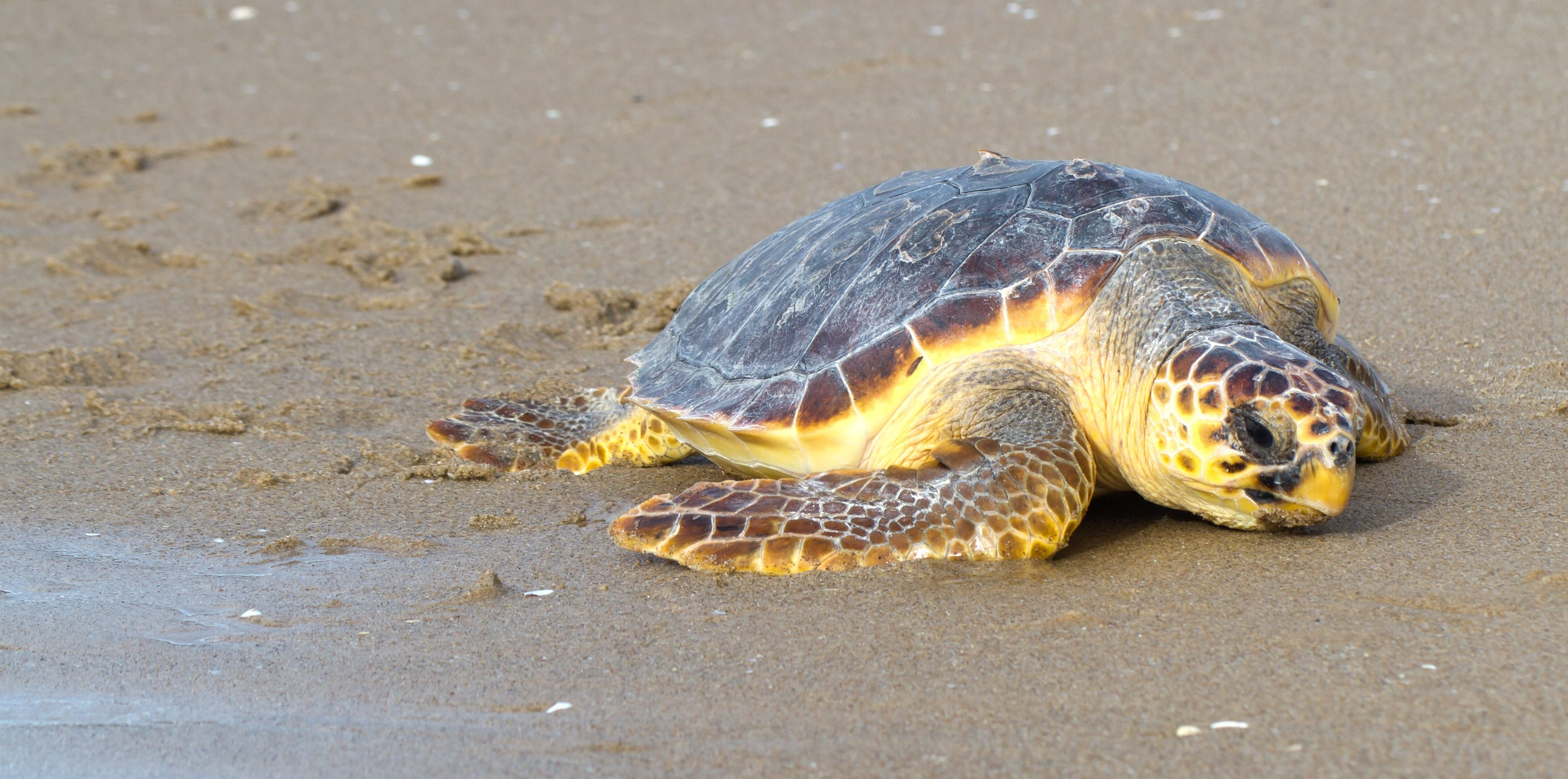 Tartaruga salvata a Mondello e rigettata nel mare di Palermo