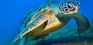 Stromboli, operazione di salvataggio per una tartaruga Caretta Caretta