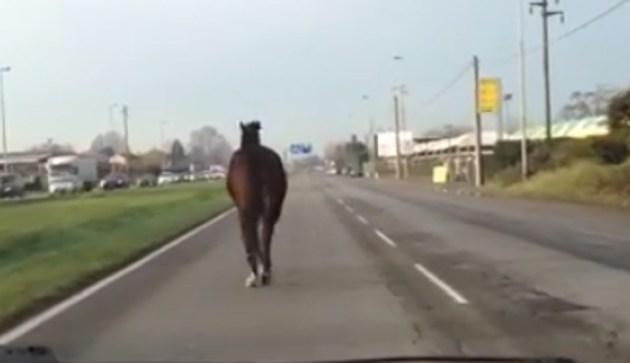 Cavallo vagabondo in giro per Palermo: si cerca di trovare il padrone
