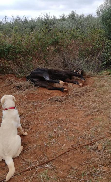 Cane scopre un cavallo legato e agonizzante a Castelvetrano