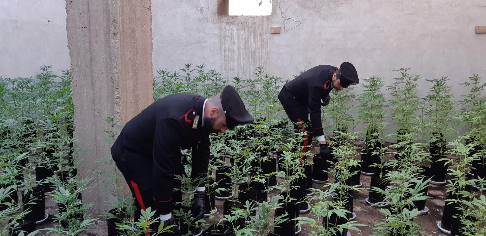 Priolo, scoperta coltivazione di marijuana in un casolare