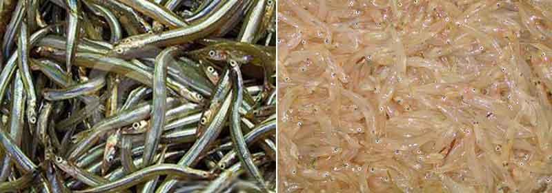 Pesca del cicirello e del rossetto: la Sicilia ottiene la proroga
