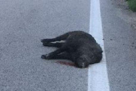 Branco di cinghiali in autostrada nel Milanese, un morto