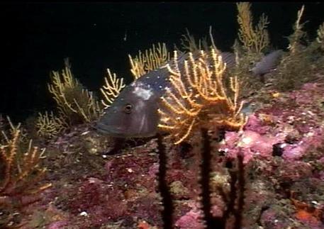 Salerno, depredati 400 chili di coralli: danni per 50 anni in Costiera Amalfitana e 10 indagati
