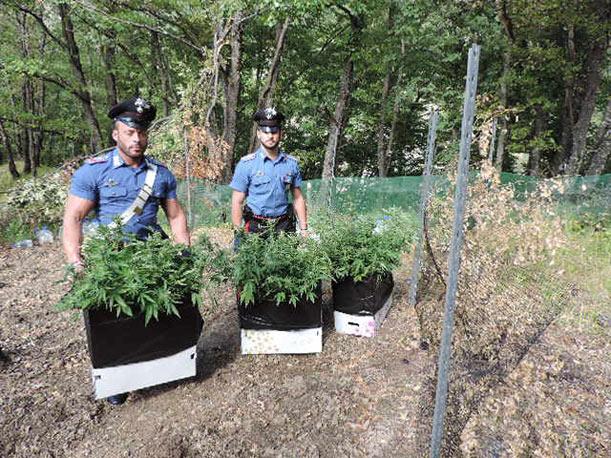 Droga: ai domiciliari coltiva marijuana, arresto nel Tarantino