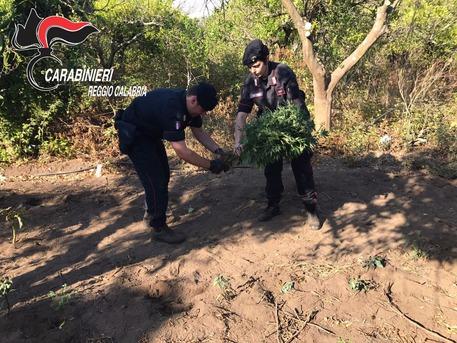 Droga, scoperta una piantagione di marijuana a Gioia Tauro