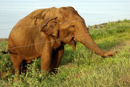 Cerca di ipnotizzare un elefante nello Sri Lanka, muore