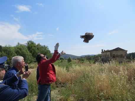 Liberato un falco di palude curato nel Cras di Rende