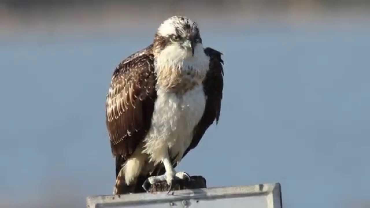 Ferito nel Messinese falco pescatore, il Wwf a Musumeci: fermi la caccia