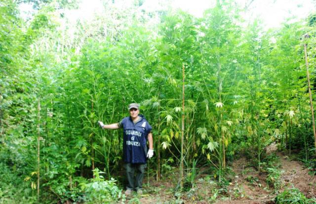 Droga: scoperta una piantagione di marijuana nel Cosentino