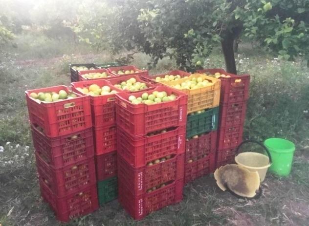 Avola, sorpreso in contrada Zuccara con 700 chili di limoni rubati