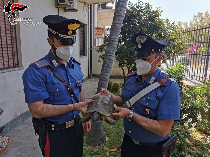 Tartaruga centenaria salvata dai carabinieri a Gallico