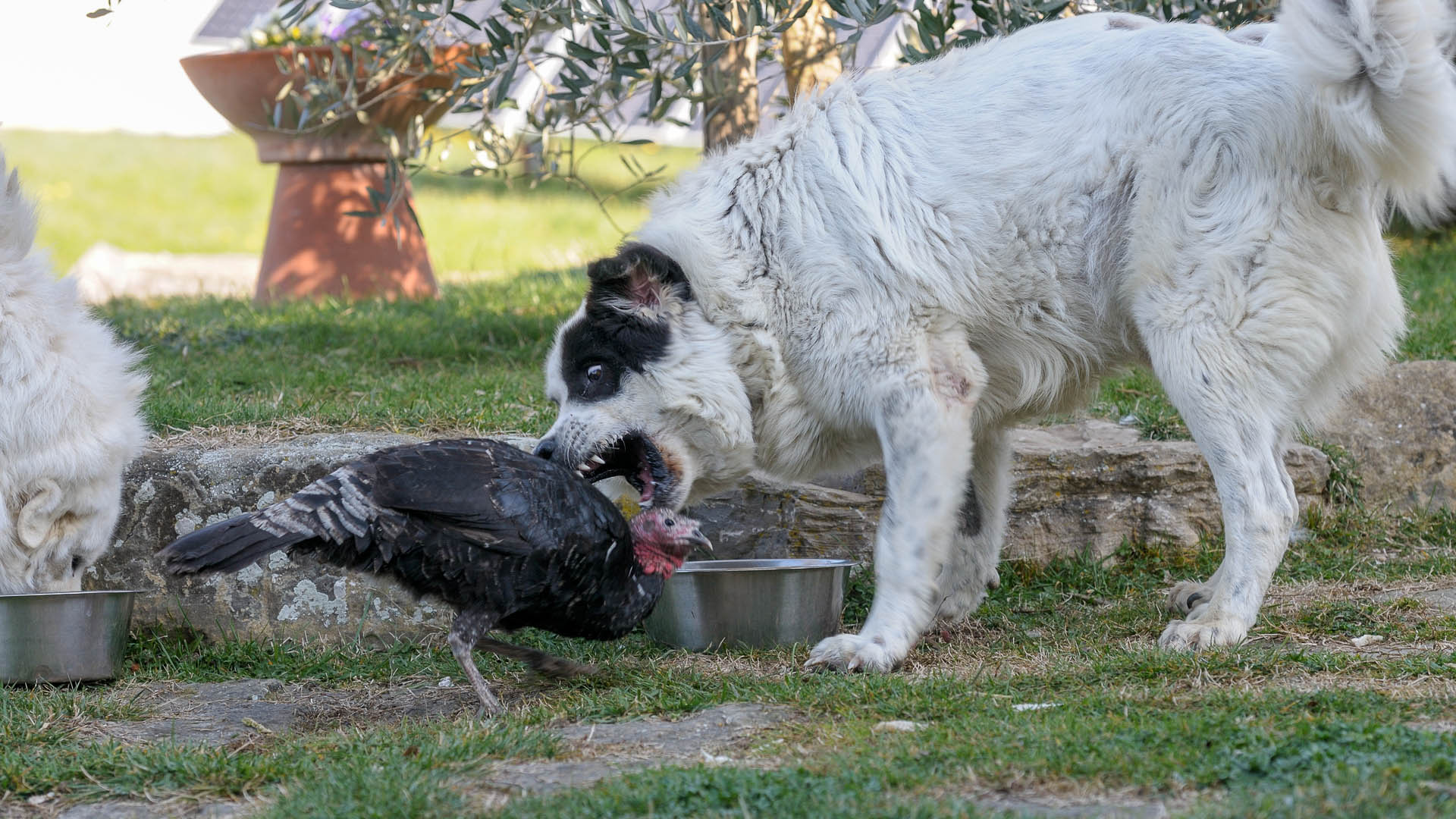 Randagi a Gela sbranano galline e terrorizzano coppia di anziani